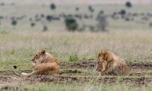 Sư tử cái hoàn toàn phớt lờ con đực. Ảnh: Caters.