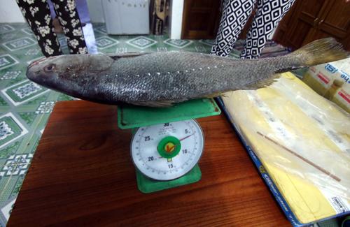 Cá dài 82 cm, ngang 22 cm, nặng 6,2 kg. Ảnh: Đắc Thành.