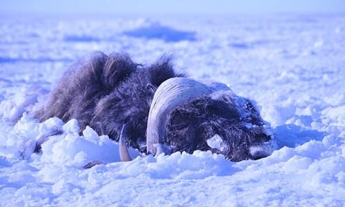 Một con bò xạ hương bị vùi lấp dưới băng tuyết năm 2011. Ảnh:Joel Berger/Scientific Reports.