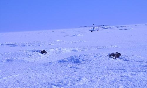 Những chùm lông hoặc sừng bò nhô lên trên lớp băng tuyết. Ảnh:Joel Berger/Scientific Reports.