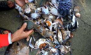 Ngư dân thả lưới bắt hàng chục kg ghẹ mỗi đêm