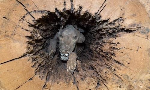 Stuckie vĩnh viễn mắc kẹt trong thân cây dẻ sồi. Ảnh: Newsweek.