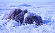 Trận 'sóng thần băng' chôn sống đàn bò hơn 50 con