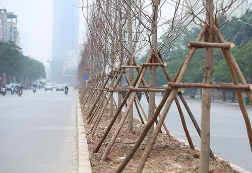 Việc trồng cây phong lá đỏ trên một số tuyến phốthủ đô đang gây ý kiến khác nhau. Ảnh: Ngọc Thành.