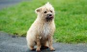 Chó tiêu diệt hơn 600 con chuột một năm cứu cả làng