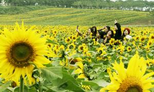 Nghìn người ngắm cánh đồng hoa hướng dương ở Nghệ An
