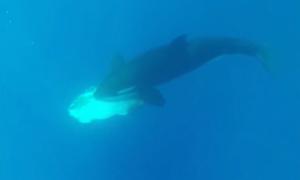 Đàn cá voi sát thủ vờn cá mặt trăng