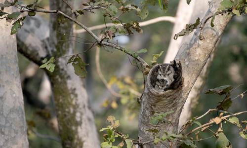 Những con cú ngụy trang hoàn hảo trong hốc cây. Ảnh: Caters News.