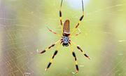 Loài nhện phóng tơ bền chắc gấp 5 lần thép