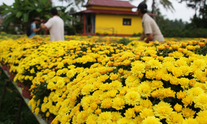 Hoa Tết miền Tây nở sớm vì mưa trái mùa