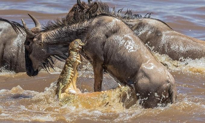 Cá sấu hai tạ đoạt mạng linh dương đầu bò