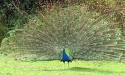 Chủ trang trại Hà Nội kiếm tiền tỷ từ nuôi chim công xanh Ấn Độ