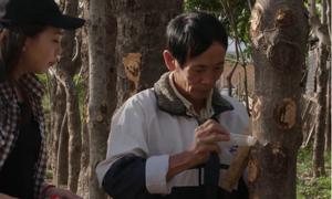 Sáng kiến thu hoạch mủ trôm của nông dân Ninh Thuận