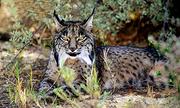 Nỗ lực bảo tồn loài mèo hiếm nhất thế giới