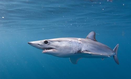 Cá mập mako vây ngắn được xếp vào nhóm động vật sắp nguy cấp. Ảnh: NOAA.
