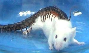 Rết độc hạ gục chuột lớn gấp 15 lần trong nửa phút
