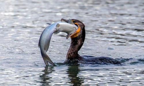 Cá hồi vân quá lớn khiến chim cốc không thể nuốt gọn. Ảnh:SWNS.com.