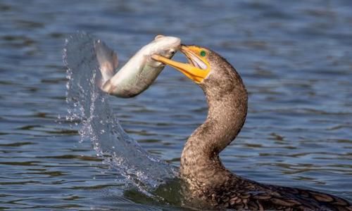 Chim cốc vất vả với con mồi to quá khổ. Ảnh:SWNS.com.