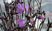 Chơi hoa đỗ quyên 'ngủ đông' trong dịp Tết