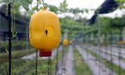 Nông dân dùng bình nhựa diệt côn trùng gây hại cho quả