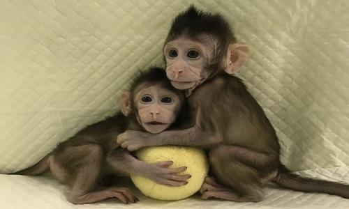 Trung Quốc nhân bản đôi khỉ đầu tiên trên thế giới