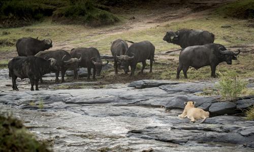 Sư tử quan sát những con trâu để tìm thời cơ tấn công. Ảnh: Caters News.