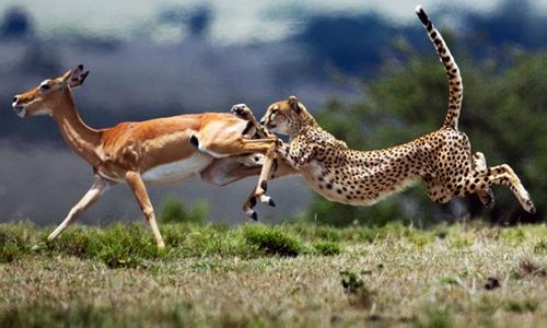 Báo cheetah đang tấn công một con linh dương. Ảnh: Anup Shah.