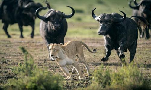 Sư tử cái bỏ chạy khi bị đàn trâu phản công. Ảnh: Caters News.