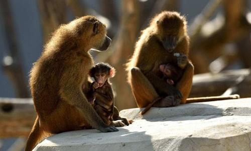 Những con khỉ đầu chó tại Sở thú Paris. Ảnh: Paris Zoo.