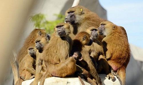 Một gia đình khỉ đầu chó ở Công viên Động vật Paris năm 2015. Ảnh: National Geographic.