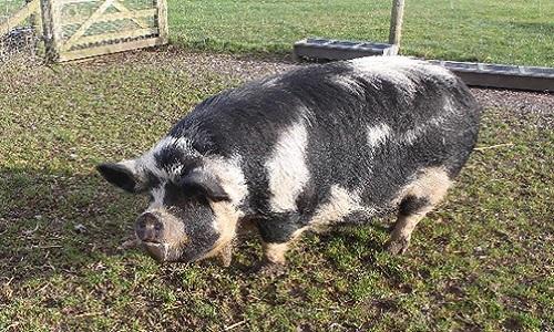 Lợn nái Penelope không bị thương sau tai nạn. Ảnh: Sun.