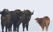 Bò cái trốn khỏi chuồng đến sống cùng đàn bò rừng