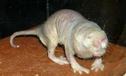 Loài chuột gần như không lão hóa