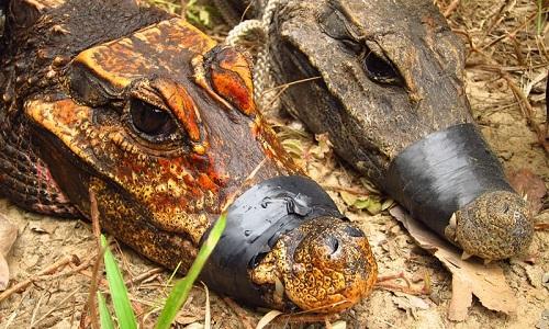 Con cá sấu hang động màu cam đặt bên cạnh cá sấu lùn bình thường. Ảnh: Olivier Testa.