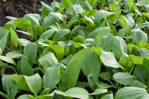 Rau hữu cơ được phát triển trong nhà kính, trồng trên đất và giá thể, không sử dụng phân bón hóa học và tuyệt đối không sử dụng các thuốc trừ sâu.
