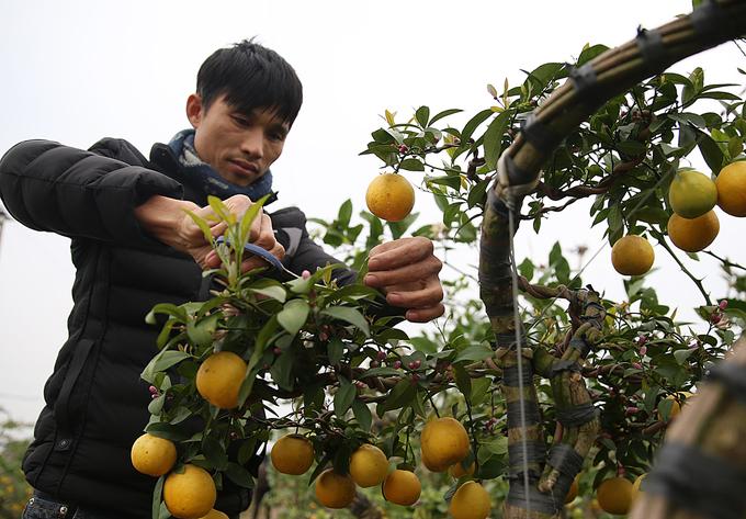 Vườn chanh bonsai trồng bằng đậu tương của nông dân Hưng Yên