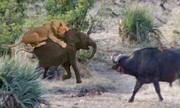 Đàn trâu rừng hợp sức cứu voi con khỏi vuốt sư tử