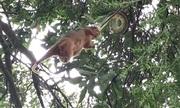 Trăn ngoạm đầu lôi thú có túi lên ngọn cây để nuốt chửng