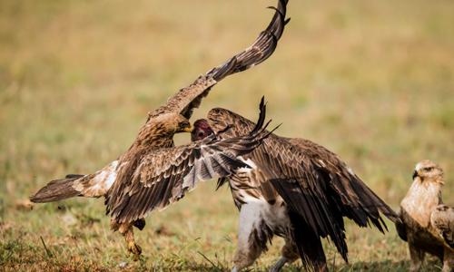 Hai con chim không ngừng tấn công đối thủ. Ảnh: Caters News.