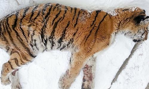 Con hổ cái khi được tìm thấy trên hiên nhà một người dân làng. Ảnh: Siberian Times.