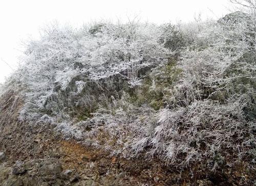 Cây băng ở đỉnh núi Phia Oắc, Cao Bằng. Ảnh: CTV