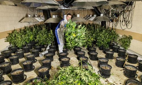 Bên trong một trang trại trồng cần sa trong nhà ở Anh. Ảnh: Guardian.