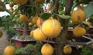 Bưởi Diễn vào Sài Gòn bán Tết giá tới 50 triệu đồng một cây