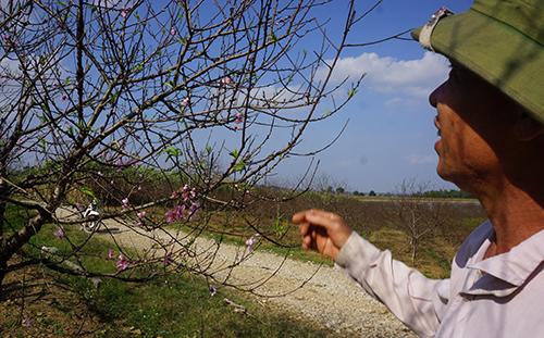 Làng đào Xuân Du năm nay vắng khách mua do hoa nở sớm. Ảnh: Lê Hoàng.