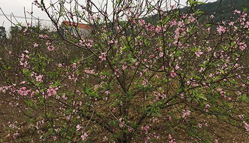 Gần nửa tháng nữa mới đến Tết nhưng 70-80% gốc đào ở Xuân Du đã rộ hoa từ vài tuần trước. Ảnh: Lê Hoàng.