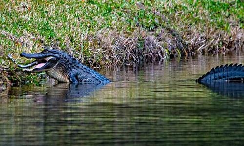 Con cá sấu đực ăn thịt đồng loại và chiếc đuôi thò ra của cá sấu non. Ảnh: Nancy Bloch.