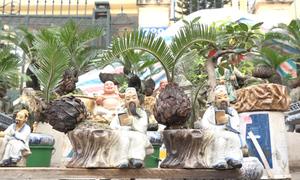 Vạn tuế bonsai hút khách ở Hà Nội dịp Tết