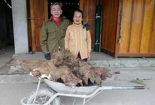 Vợ chồng cụ Tam bên củ khoai vạc nặng 37kg đào được sáng nay. Ảnh: Đ.H