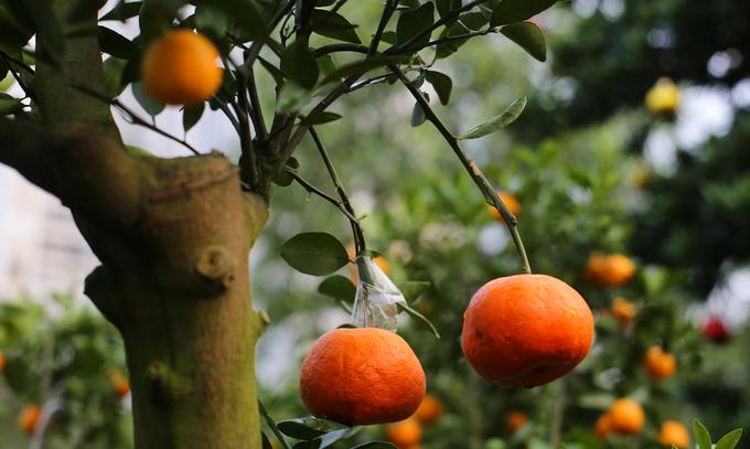 Quất kiểng cho thuê giá hơn 40 triệu đồng một cây ở Sài Gòn
