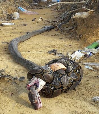 Trận tử chiến giữa rắn hổ mang chúa và trăn gấm